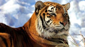 Siberian-Tiger-HD